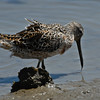 Short-billed Dowitcher (Limnodromus griseus), Wildlife