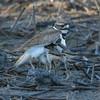Killdeer (Charadrius vociferus), Wildlife
