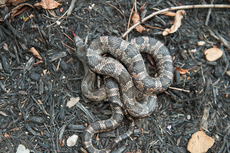Texas Rat Snake (Elaphe obsolete lindheimerii)