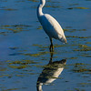 """Great egret. (Contributed by Coby Walters-Fournier,  <a href=""""http://www.Pinemeadowphotography.com"""">http://www.Pinemeadowphotography.com</a>)"""