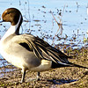 Male pintail duck. (Photo contributed by Mary Wurlitzer).