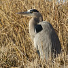 Great blue heron. (Photo contributed by Mary Wurlitzer).
