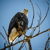 A bald eagle at the Sacramento National Wildlife Refuge. (Photo contributed by Doug Churchill)