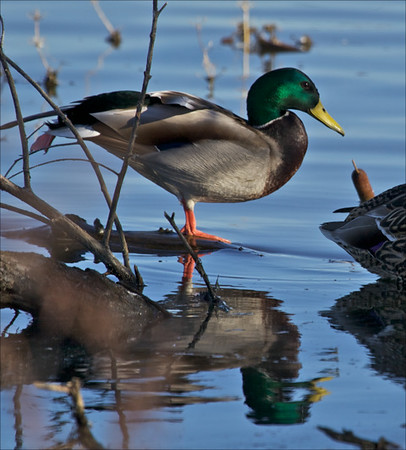 Male mallard duck, Colusa Wildlife Refuge. (Photo contributed by Mary Wurlitzer).