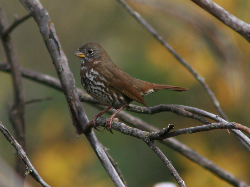 """Fox sparrow: Even among birders, sparrows are often dismissed as LBB's or 'Little Brown Birds', due to the seeming difficulty in identifying one from another. In truth, all sparrows have distinguishing 'field marks' which can reliably be used to tell them apart, like the chocolate-brown back, heavily barred breast and sooty cheeks of this Fox sparrow. Sometimes hard to find, Fox sparrows spend most of their time foraging in dense bramble thickets. (Photo contributed by Liam Huber, <a href=""""https://www.facebook.com/liamhphotography"""">https://www.facebook.com/liamhphotography</a>)."""