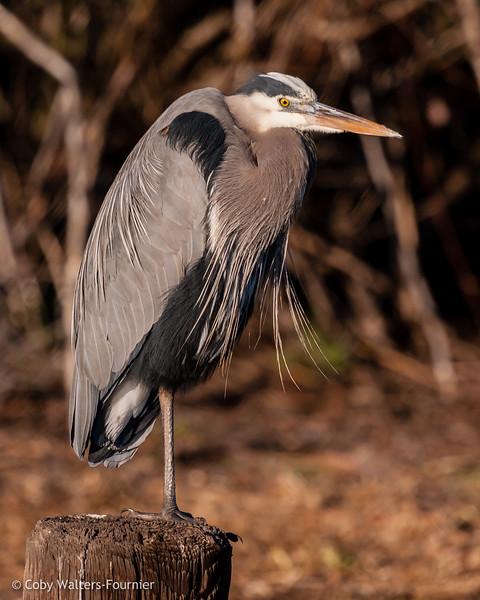 Great Blue Heron,