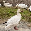 Snow Geese at the Sacramento National Wildlife Refuge. (Contributed By Lori Harrington).