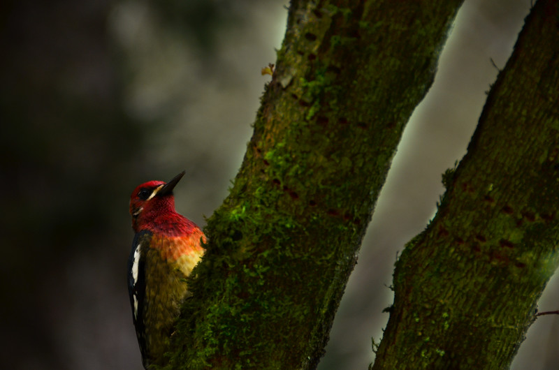 """Red-breasted Sapsucker: Listen for a single-note screech in a fruit or nut tree, then watch for the beautiful raspberry-red head and breast.<br /> (Photo contributed by Liam Huber, <a href=""""https://www.facebook.com/liamhphotography"""">https://www.facebook.com/liamhphotography</a>)."""