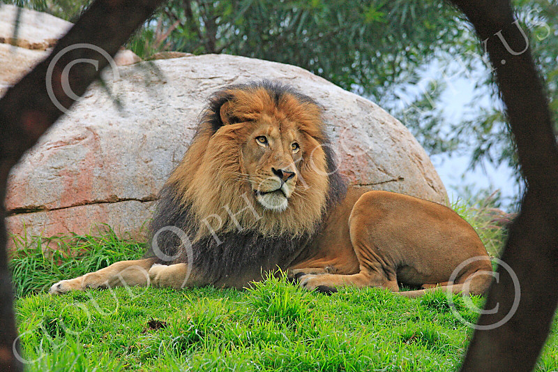 Lion 00164 An adult male lion at rest framed by two tree trunks, by Carol Ann Dentz
