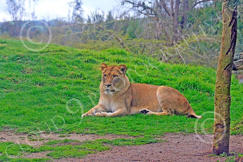 Lion 00098 A female adult lion at rest, by Carol Ann Dentz