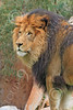 Lion 00091 A standing male adult lion looks to his left, by Carol Ann Dentz