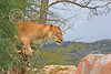 Lion 00118 A rare sight--an adult female lion in a tree, by Carol Ann Dentz