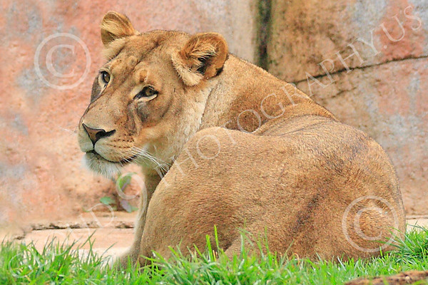 Lion 00186 An adult female lion at rest, by Carol Ann Dentz