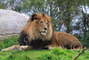 Lion 00108 A very handsome, healthy looking, adult male lion at rest in lush grass, by Carol Ann Dentz