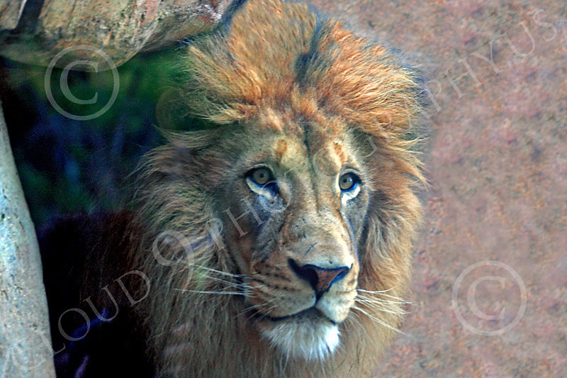 Lion 00210 An adult male lion looks out from a cave, by Carol Ann Dentz
