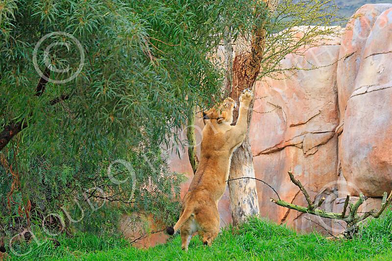 Lion 00110 A standing adult femal lion claws a tree, by Carol Ann Dentz