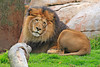 Lion 00142 A lazy looking male adult lion at rest, by Carol Ann Dentz