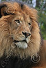 Lion 00089 A tight, vertical portrait of a handsome, healthy looking, adult male lion, by Carol Ann Dentz