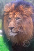 Lion 00183 An adult male lion, by Carol Ann Dentz