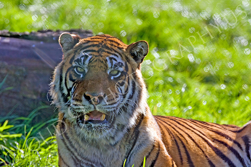 Bengal Tiger 00024 by Tony Fairey