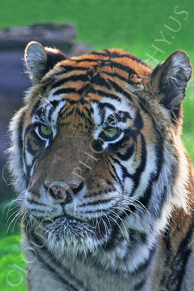 Bengal Tiger 00065 by Tony Fairey