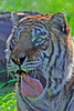 Bengal Tiger 00159 by Tony Fairey