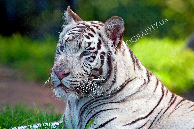 White Bengal Tiger 00002 by Tony Fairey