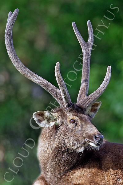 Red Lechwe Deer 00002 by Tony Fairey