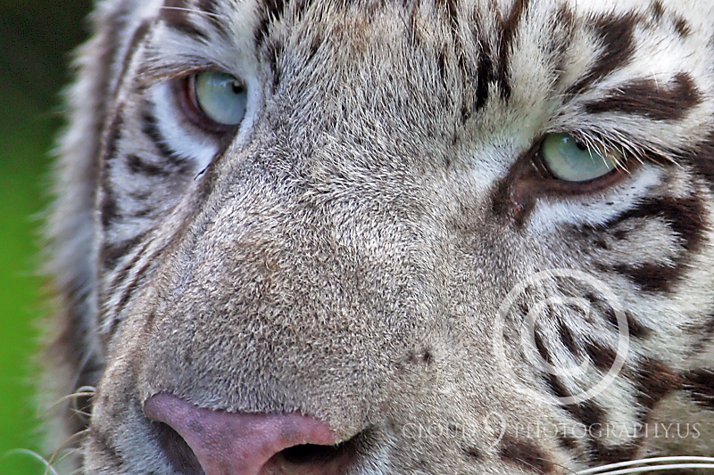 White Bengal Tiger 00011 by Tony Fairey