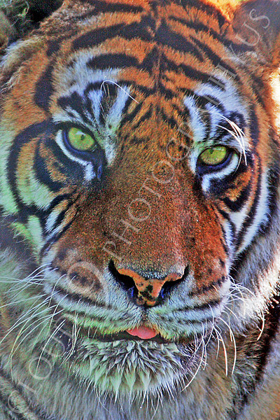 Bengal Tiger 00062 by Tony Fairey