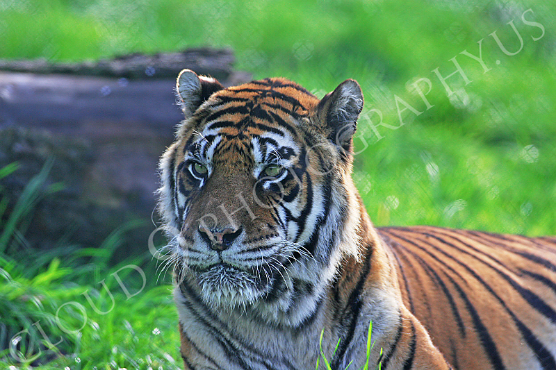 Bengal Tiger 00042 by Tony Fairey