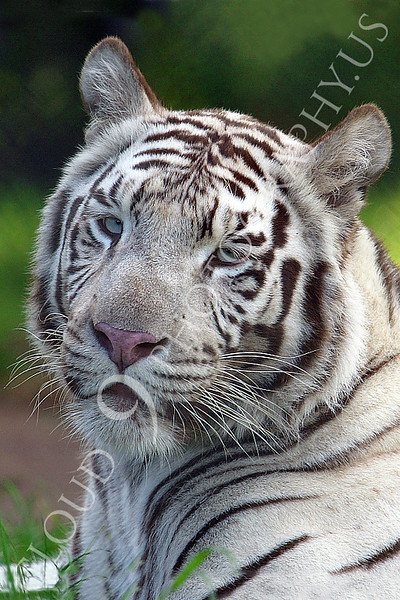 White Bengal Tiger 00008 by Tony Fairey