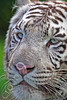 White Bengal Tiger 00010 by Tony Fairey