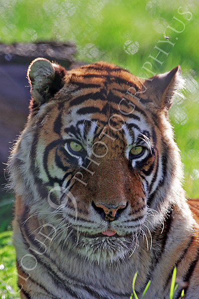 Bengal Tiger 00025 by Tony Fairey