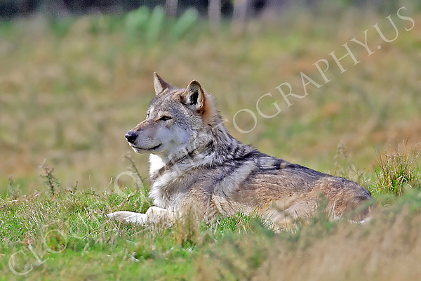 Canadian Timber Wolf 00075 by Tony Fairey