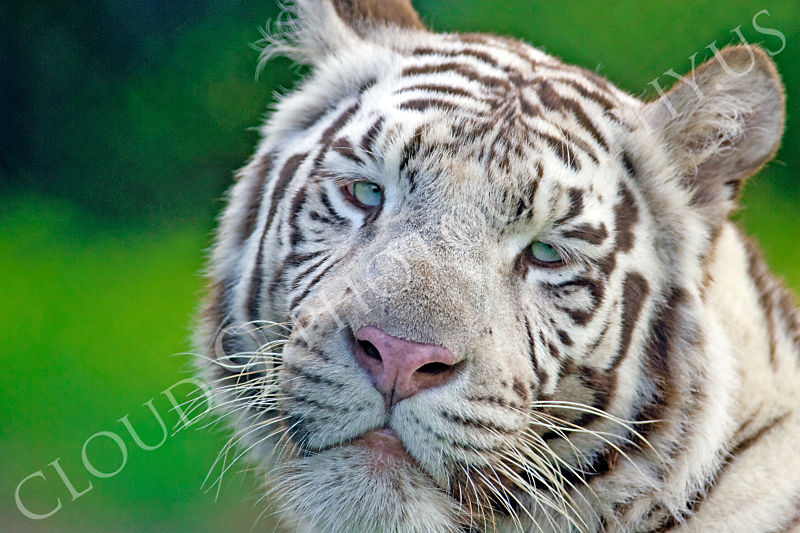 White Bengal Tiger 00003 by Tony Fairey