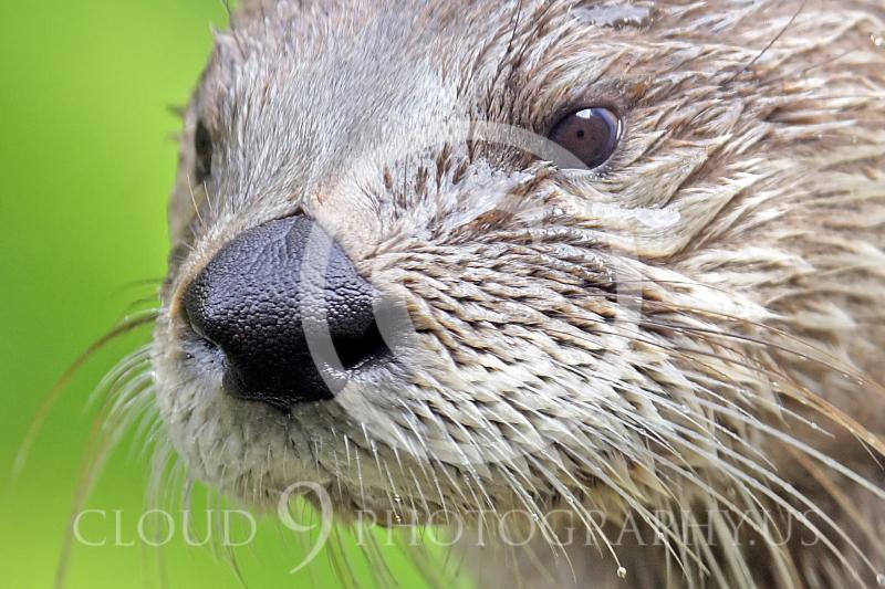 AN - Otter 00052 by Tony Fairey