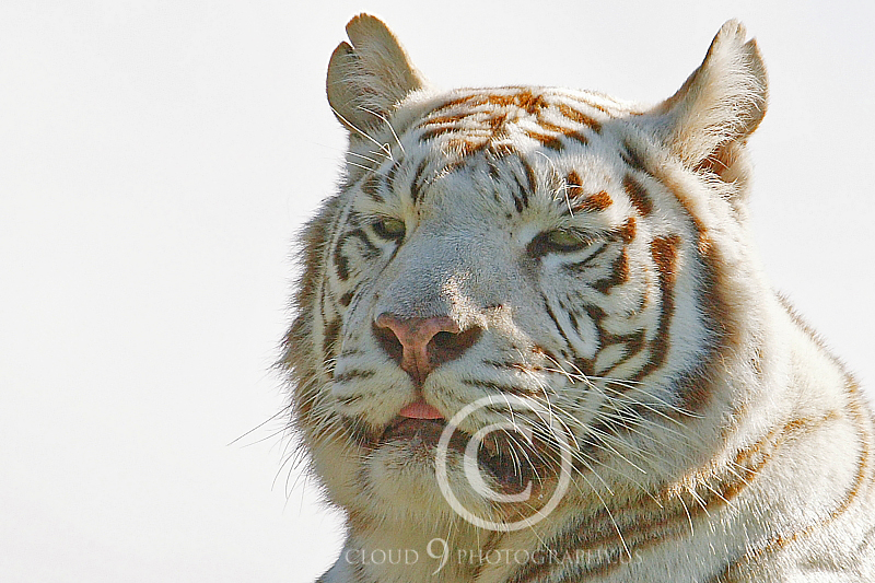 White Bengal Tiger 00006 by Tony Fairey