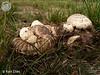 Psathyrella epimyces