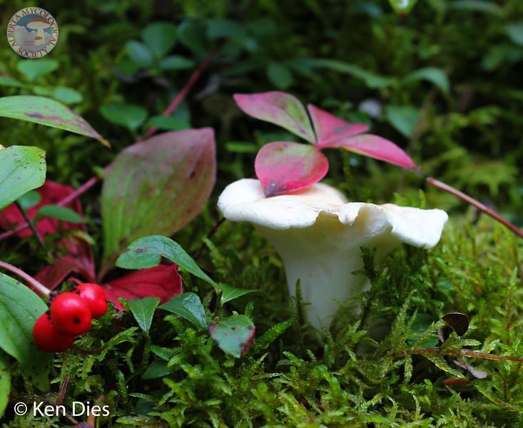 Albatrellus ovinus