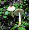 Lepiota magnispora