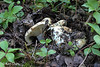 Russula brevipes