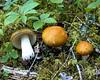 Russula decolorans