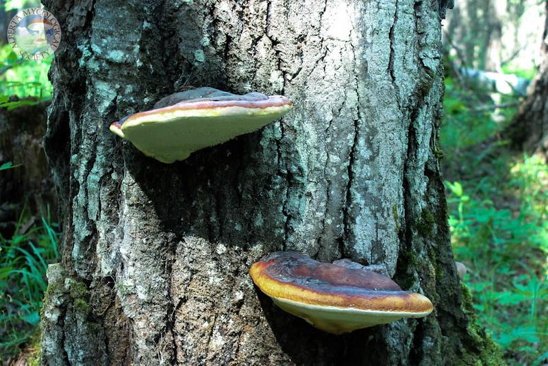 Fomitopsis pinicola