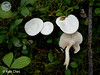 Hygrophorus piceae