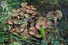Pholiota terrestris