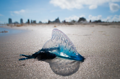 Portuguese Man of War, Miami Beach, Florida