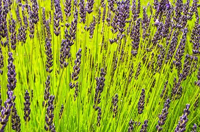 Lavender Farm, San Juan Island, Oregon