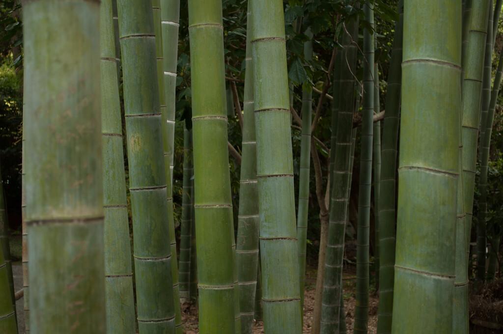 Bamboo - Sankeien Gardens Yokohama