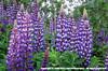 Purpleflower04